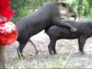 Секс прикол с животными / Fail porno animals