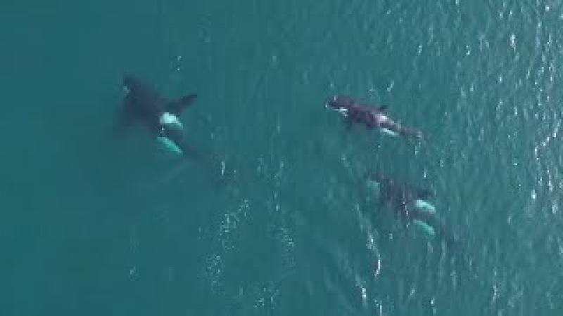Amazing drone footage shows orcas in natural habitat throwing seal 80ft into the air