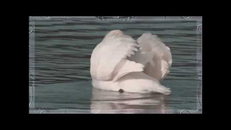 К.Сен-Санс - Лебедь... - Camille Saint - Saens Swan