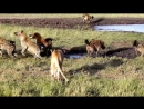 Hyena Lion Battle Royal at Kicheche Bush Camp by Nelson Kasoe