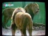 Львы доминируют над тиграми.