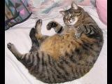Жизнь Толстого Кота. Толстый кот упал... А как вставать?