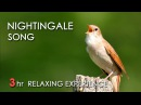 BEST NIGHTINGALE SONG - 3 Hours REALTIME Nightingale Singing, NO LOOP - Birdsong, Birds Chirping