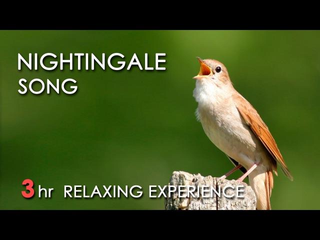BEST NIGHTINGALE SONG 3 Hours REALTIME Nightingale Singing NO LOOP Birdsong Birds Chirping