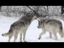 Gray Wolves Howling, Parc Omega