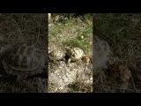 Поединок самцов среднеазиатских черепах не для слабонервных