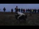 Булли кутта Брутус VS шарпланинак (28) Собачьи бои
