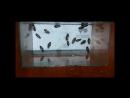 Уничтожение тараканов сухой туман BURGESS THERMO-FOGGER