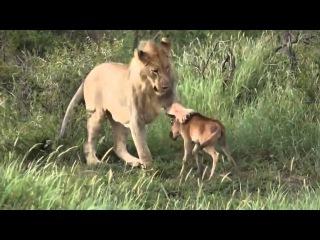 Животный мир Африки. Львы на охоте. Лев спасает теленка.