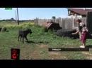 русский Зоофил насилует коз