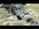 Питон против аллигатора 01 -- реальная борьба -- Python для нападения аллигатора