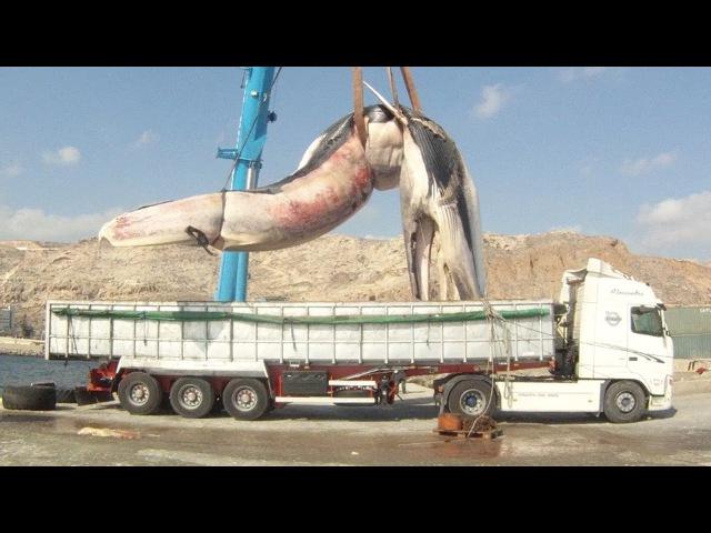 Как перевозили мертвую тушу 35-тонной самки кита