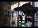 Попугай металлист поёт drowning pool bodies