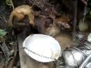 Обезьянка моет посуду.mp4
