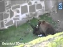 Нападение медведя на человека в зоопарке