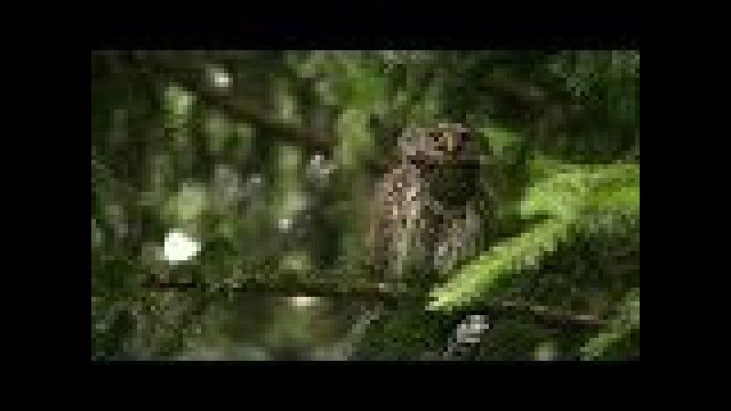 Kulíšek nejmenší / Eurasian pygmy owl / Glaucidium passerinum