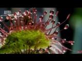 Росянка плотоядное растение