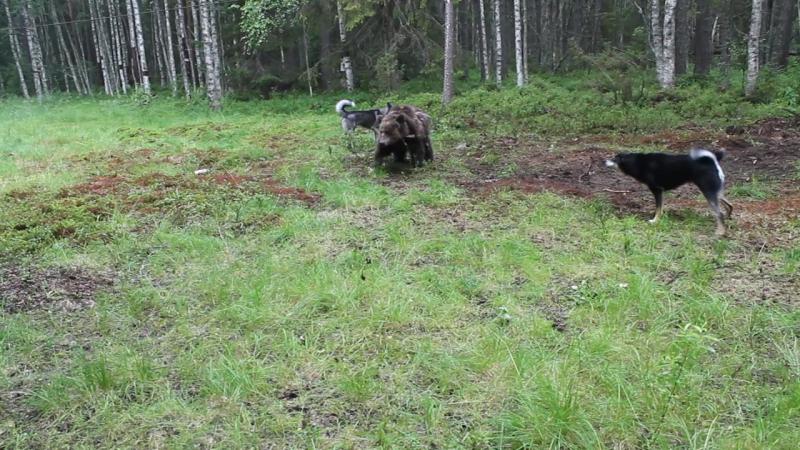 Притравка на медведя Ураган и Салма ( 7 месяцев ).