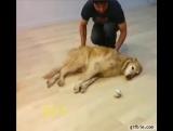 Смотрите, как играет самая ленивая собака в мире!!!)))