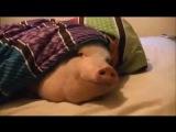 Свинья  и плюшки