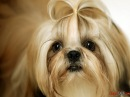 Породы собак. Ши-тцу