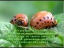Как избавиться от колорадского жука Народные средства