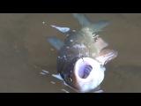 Ловля голавля на поплавочную удочку, рыбалка с берега