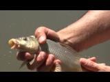 Сазан на поплавочную удочку с берега...рыбалка ловля с прикормкой