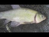 Линь и карп на горох - рыбалка ловля летом на поплавок