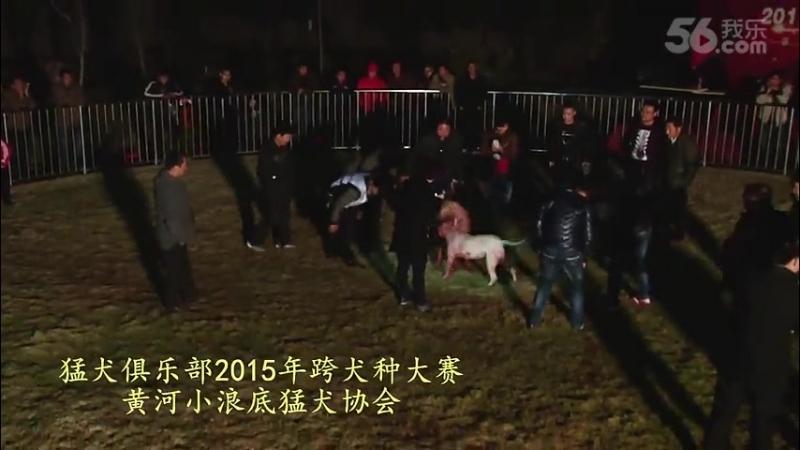 Собачьи бои Турнир в Китае 2015 питбуль vs