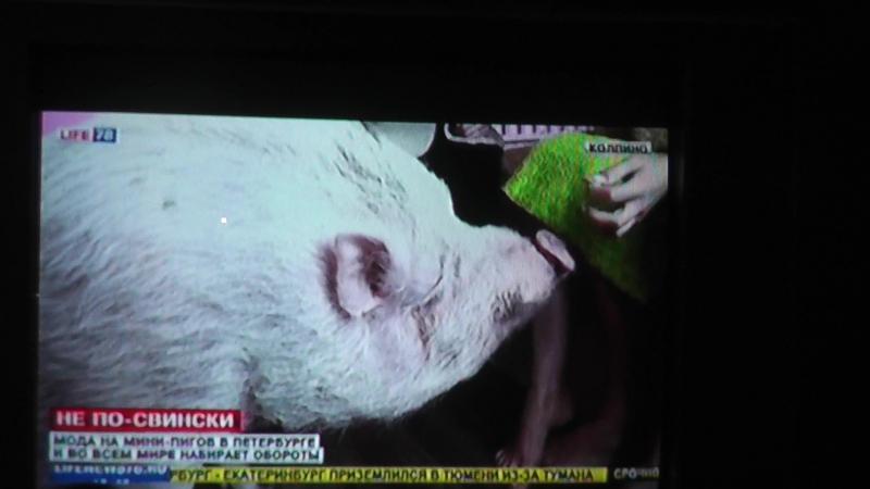 Сюжет канала Лайф78-тема не по свински
