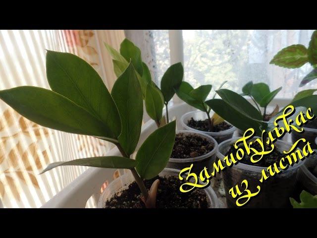 Выращивание замиокулькаса из листовой пластинки. Часть 4-я