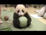 Маленькая смешная панда - жадина. Смешное видео про животных.