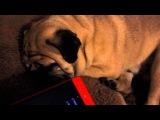 Мопс очень крепко спит/Pug is very fast asleep