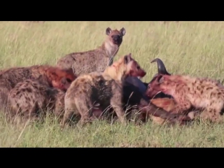 Гиена убивает буйвола (Hyena Take Down a Buffalo)