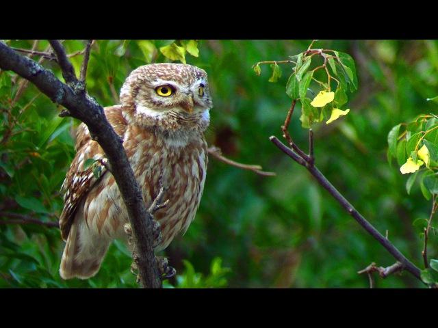 Little Owl in Azerbaijan Athene noctua Сыч домовый