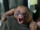 Детёныш ленивца зевает-экстроординарно мило!