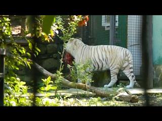 Ялта, белые тигры