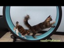 One Fast Cat Exercise Wheel Colossal Cats Maine Coons