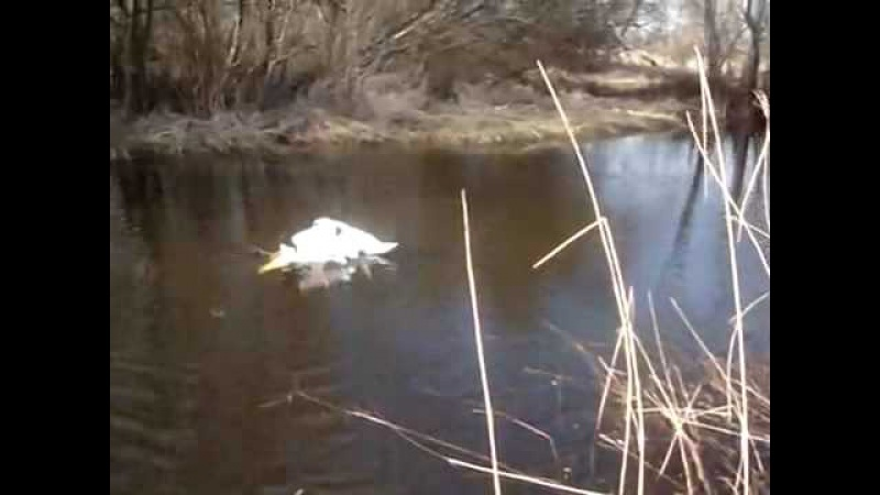 Watch People Rescue Entangled Swans - How Did It Happen? Спасение Лебедей. Gulbju izglābšana.