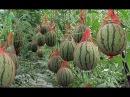Выращивание арбузов на даче, как вырастить арбуз в теплице