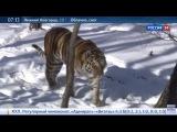 Тигр Амур и козёл Тимур разошлись, вернуть козла или нет решат после того как Тимур остановится