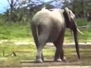 Самопожертвование слона ради слоненка.flv