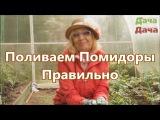 Сажаем помидоры. Как правильно их поливать. Сад и Огород