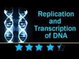 DNA replication Learn About the Replication and Transcription of DNA (Deoxyribonucleic acid)
