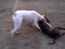 Gull dong VS pitbull / гуль донг VS питбуль