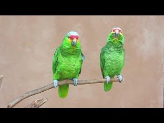 Попугаи - Харе Кришна, Хариии бол