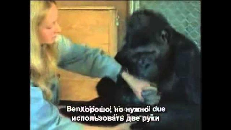Говорящая горилла Коко