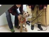 Ирландский терьер Даффи. Из-за диабета собака потеряла зрение. После продолжительного лечения и операции зрение вернулось. Даффи впервые за последние несколько месяцев видит свою семью.