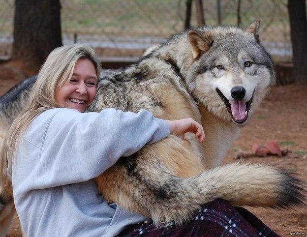 Волкособы – это уникальный вид волко-собачьих гибридов, который был получен в ре...